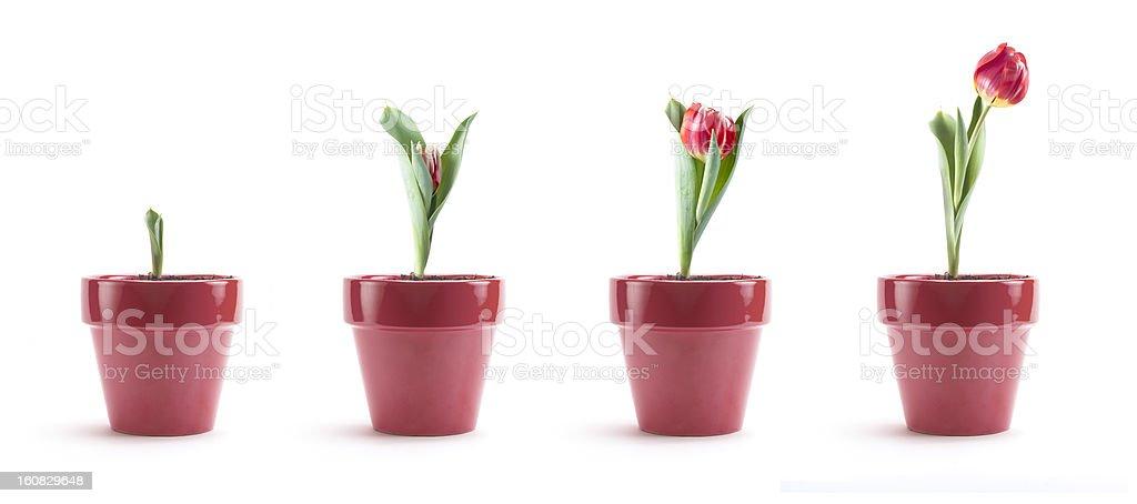Tulip Growth royalty-free stock photo