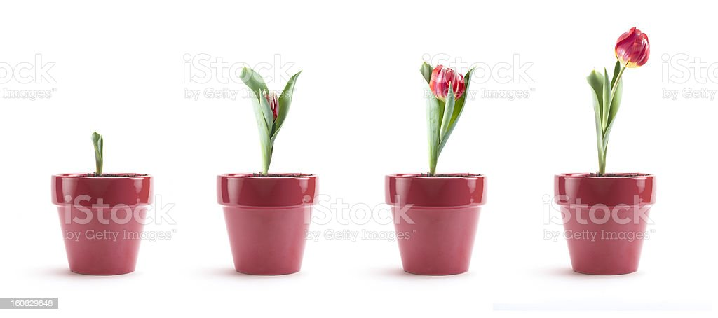 Tulip Growth stock photo