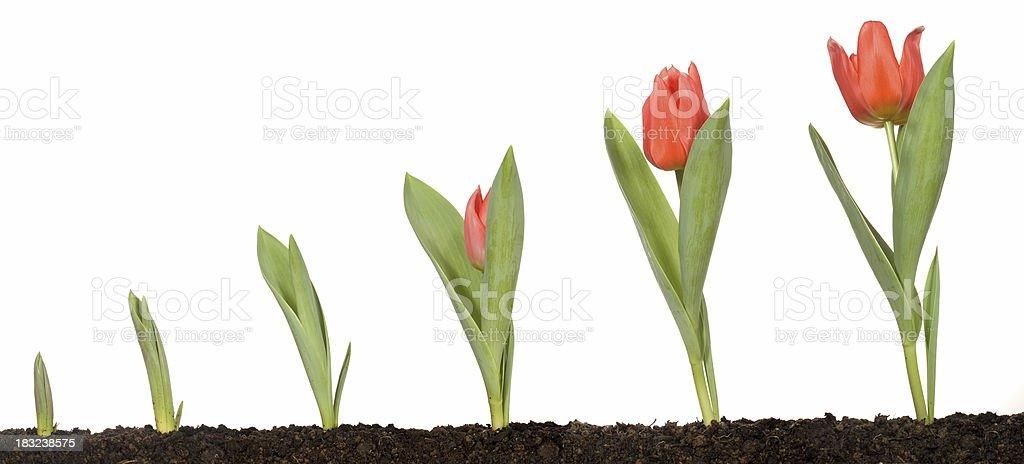 Tulip growth stock photo