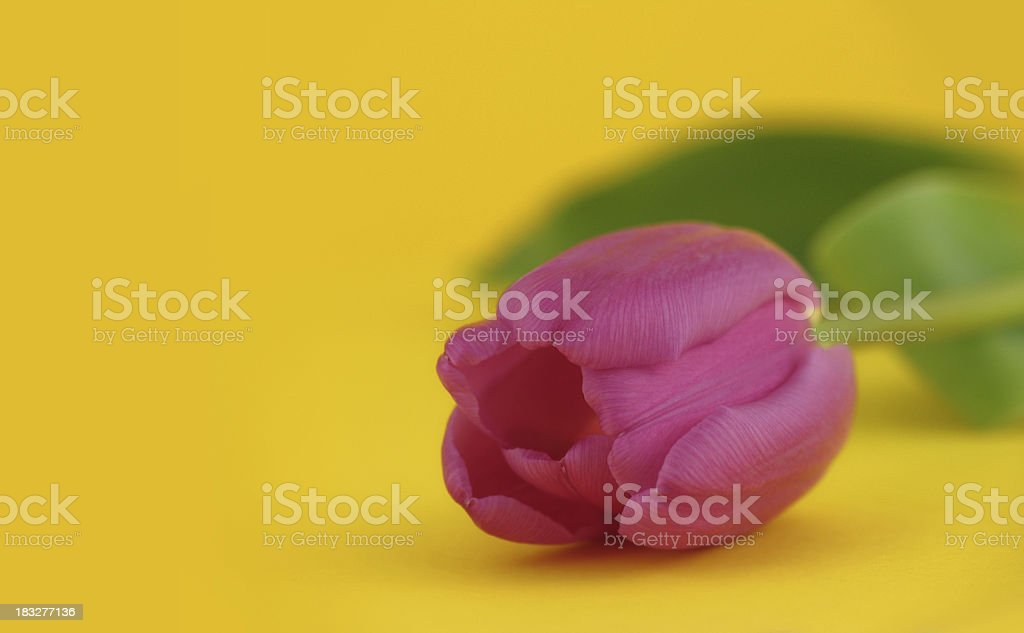 Tulip in Bright Spring Colors royalty-free stock photo