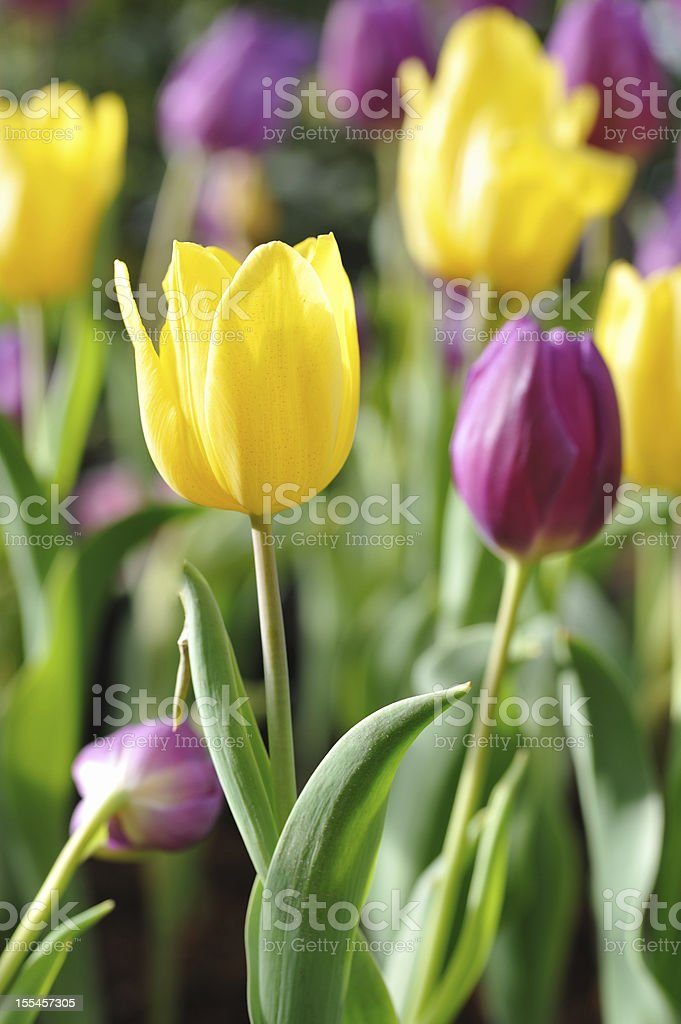 Tulip in garden stock photo