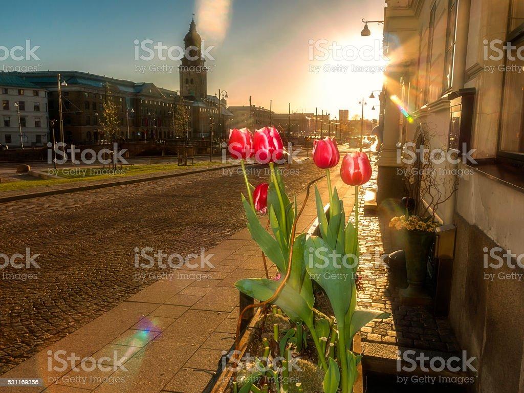 Tulip in Gothenburg stock photo