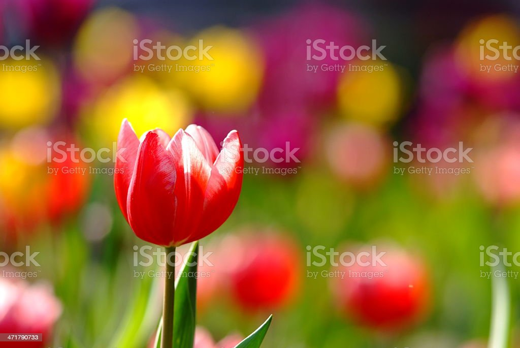 Tulip in nature royalty-free stock photo