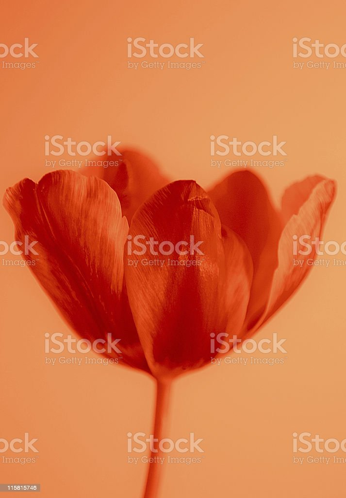 Tulip in retro look royalty-free stock photo