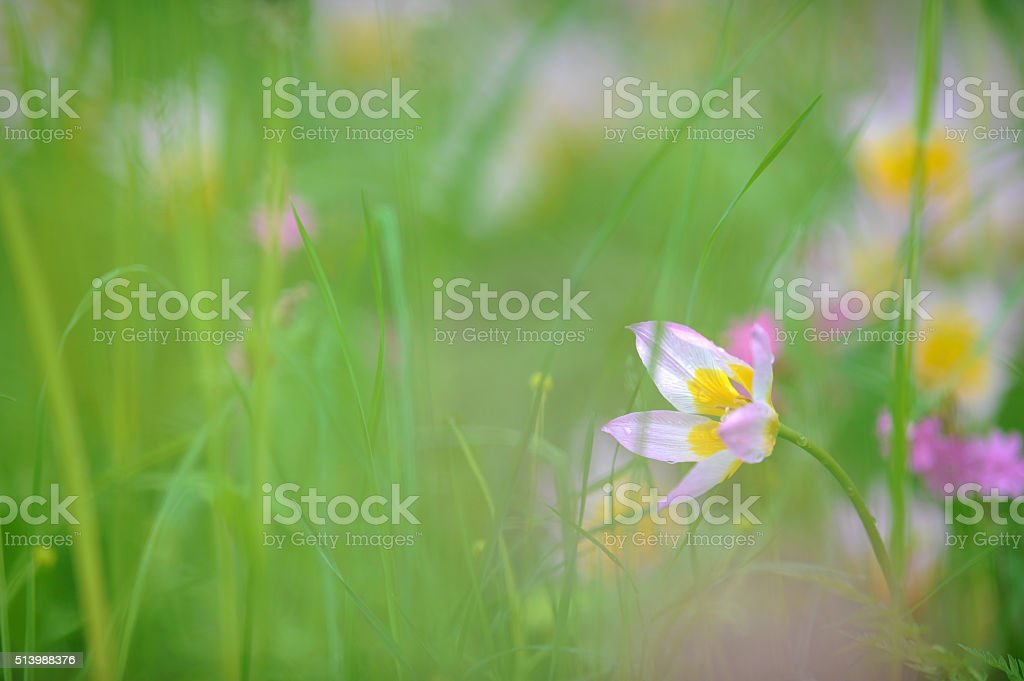 Tulip in the spring meadow stock photo