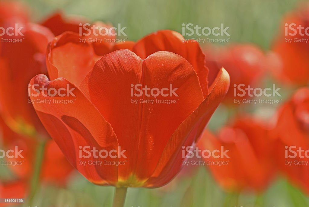 Tulip in the sun royalty-free stock photo