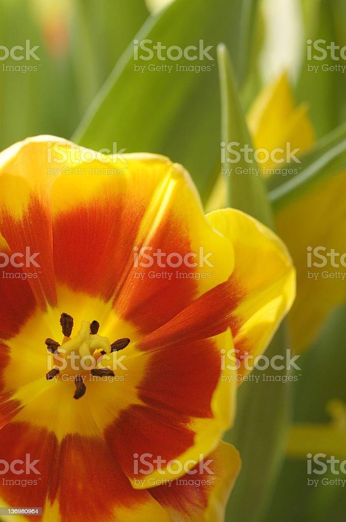 Tulip interior royalty-free stock photo