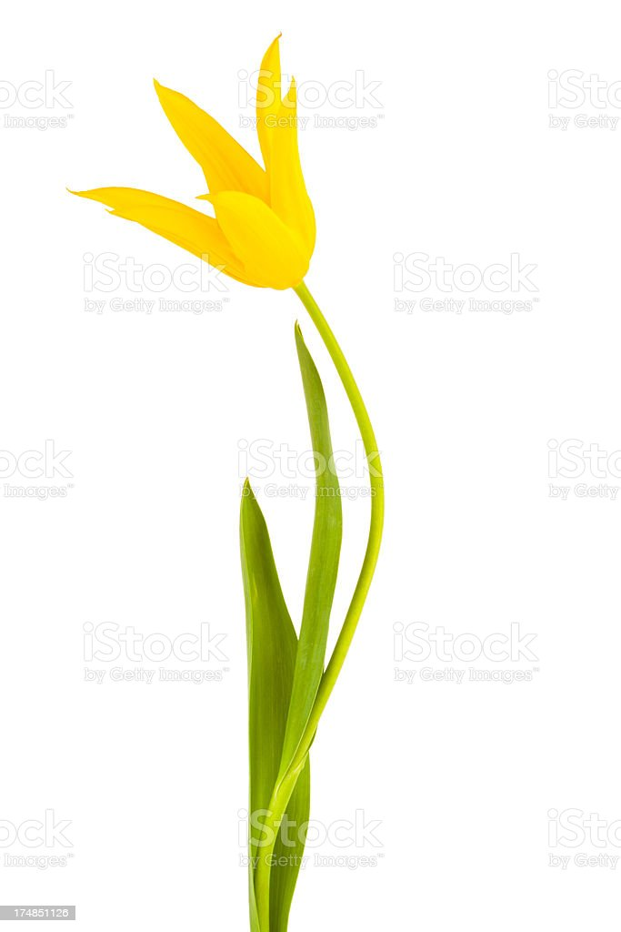 Tulip isolated royalty-free stock photo