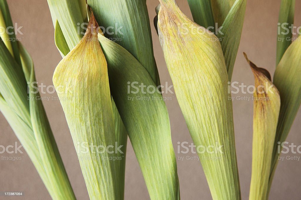 Tulip Leaves Tulipa Liliaceae Withering royalty-free stock photo