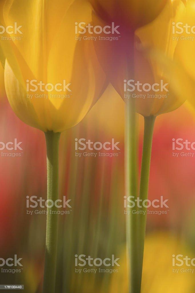 Tulip Macro stock photo