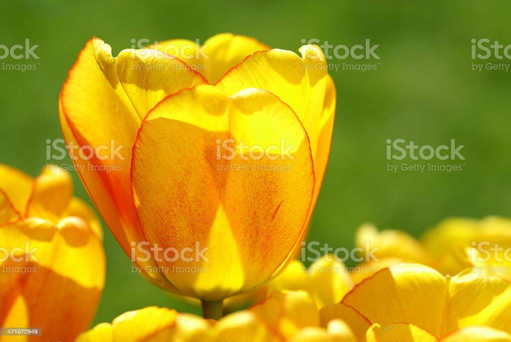 Tulip macro royalty-free stock photo