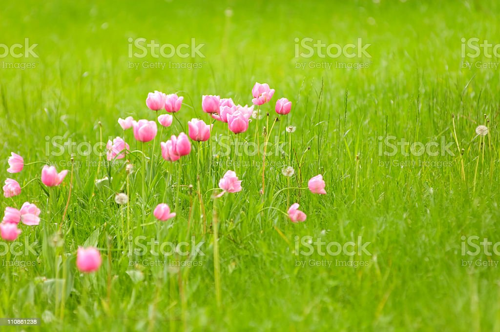 Tulip Meadow stock photo