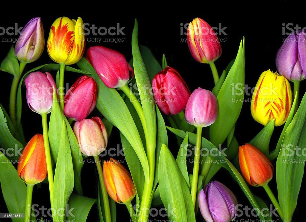 Tulip Medley stock photo