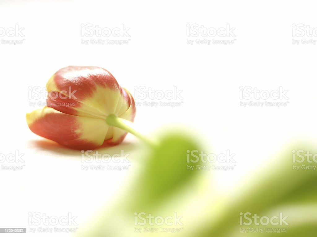 Tulip Offering royalty-free stock photo