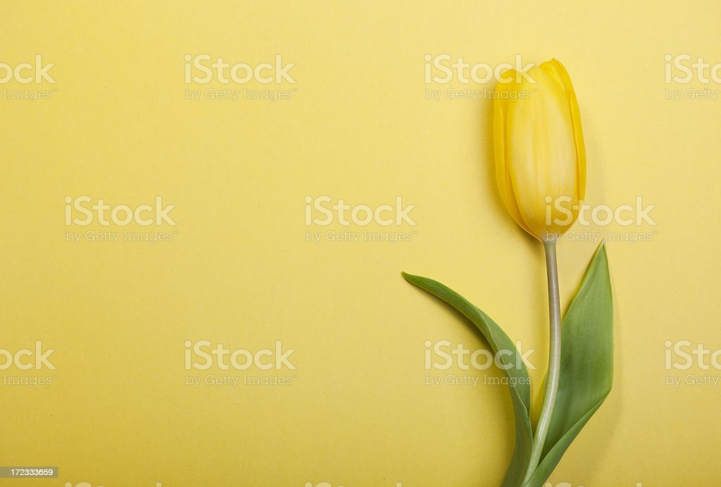 Tulip on yellow background royalty-free stock photo