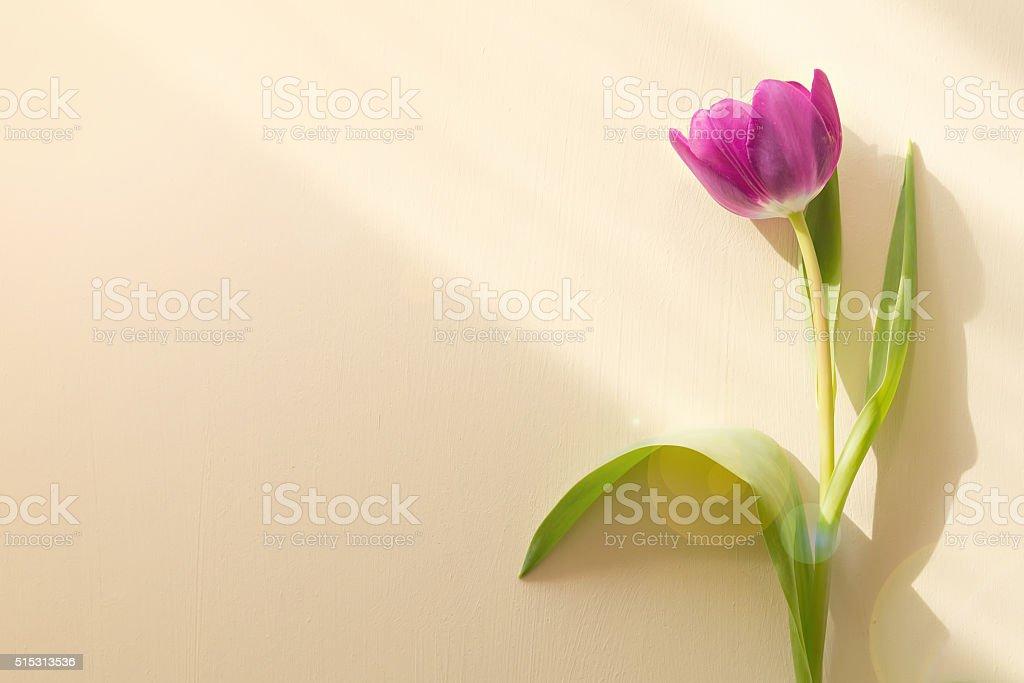 tulip on yellow background stock photo