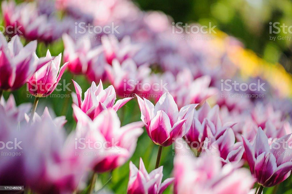 Tulip park royalty-free stock photo