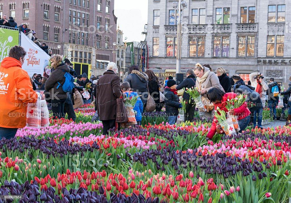 Tulip picking in Amsterdam stock photo