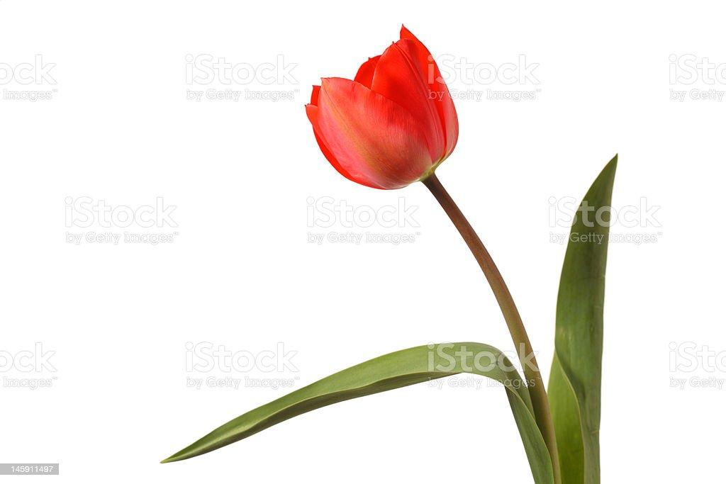Tulip royalty-free stock photo