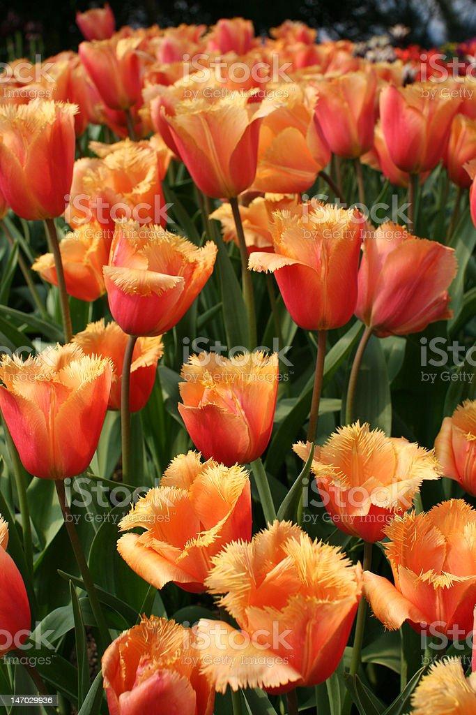 Tulip (Liliaceae Tulipa 'Lambada') royalty-free stock photo