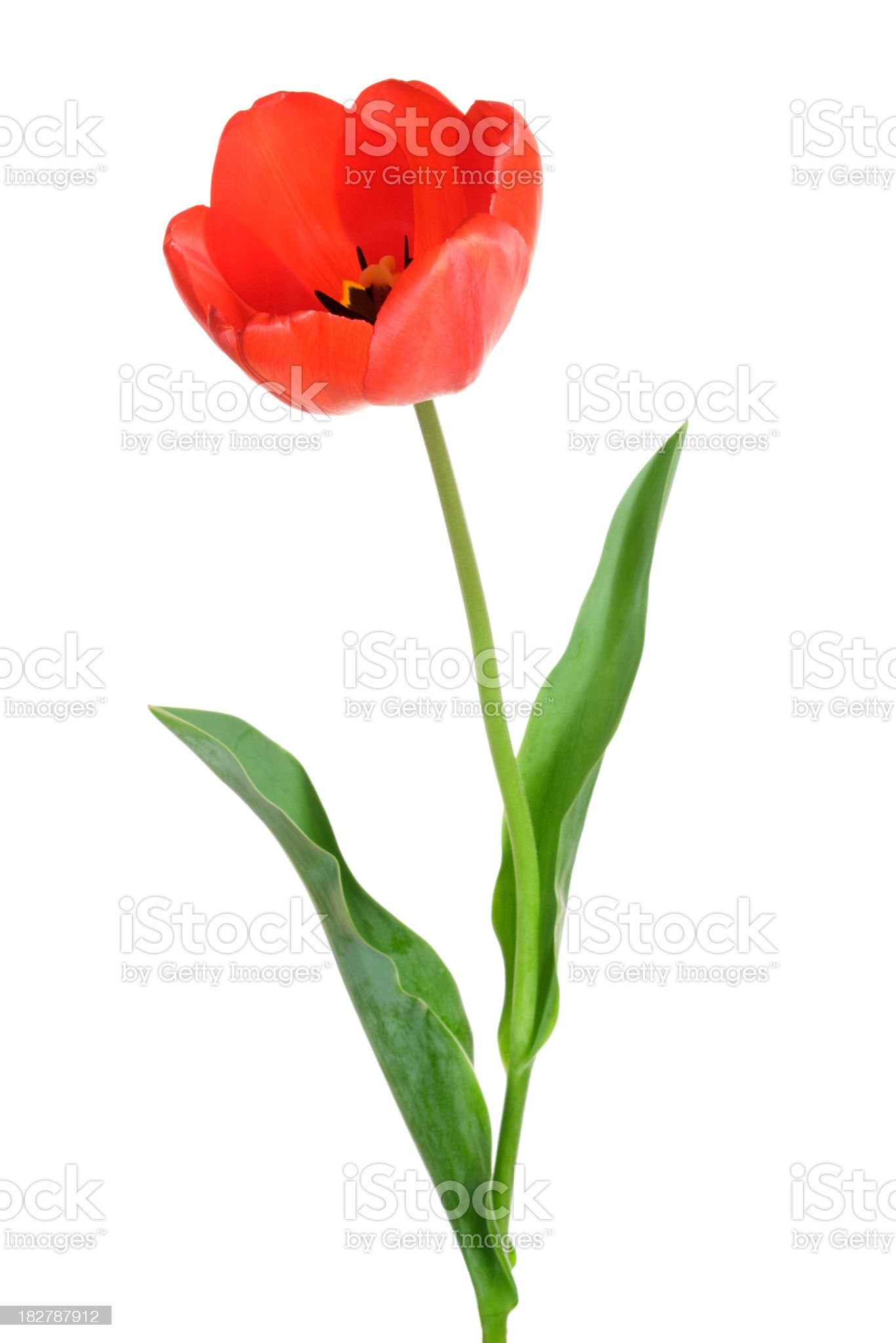 Tulip. royalty-free stock photo