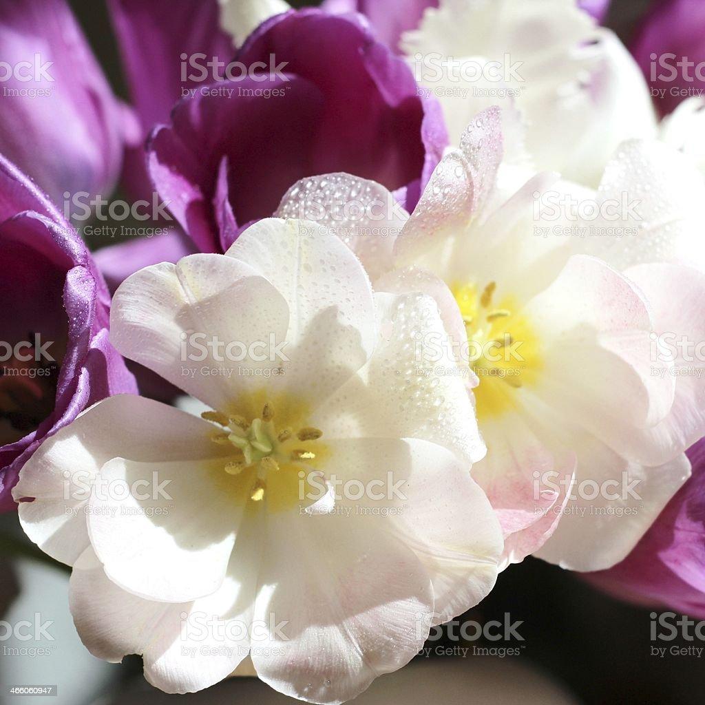 Tulip stock photo