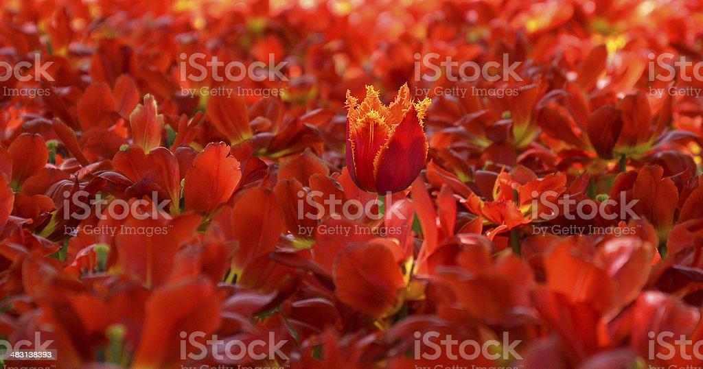 Tulipa foto de stock royalty-free