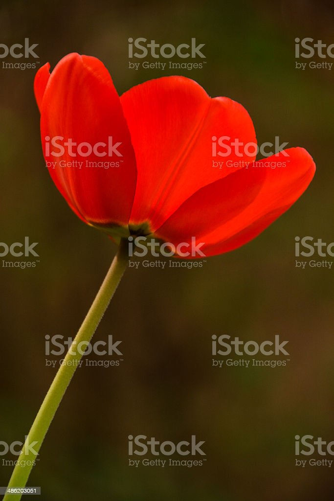 Tulpe Lizenzfreies stock-foto