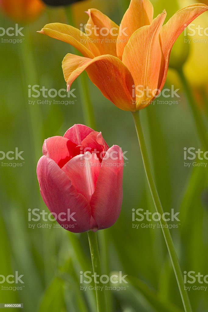 Tulipan royalty-free stock photo
