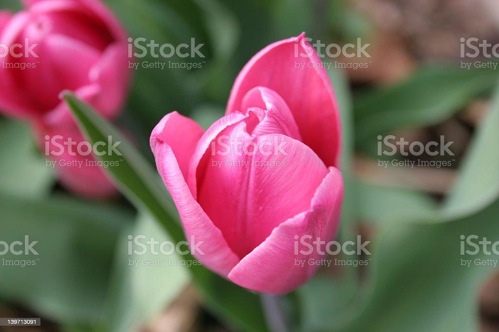 Tulip Pink royalty-free stock photo