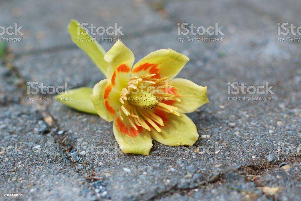 Tulip Poplar Flower on Stone stock photo