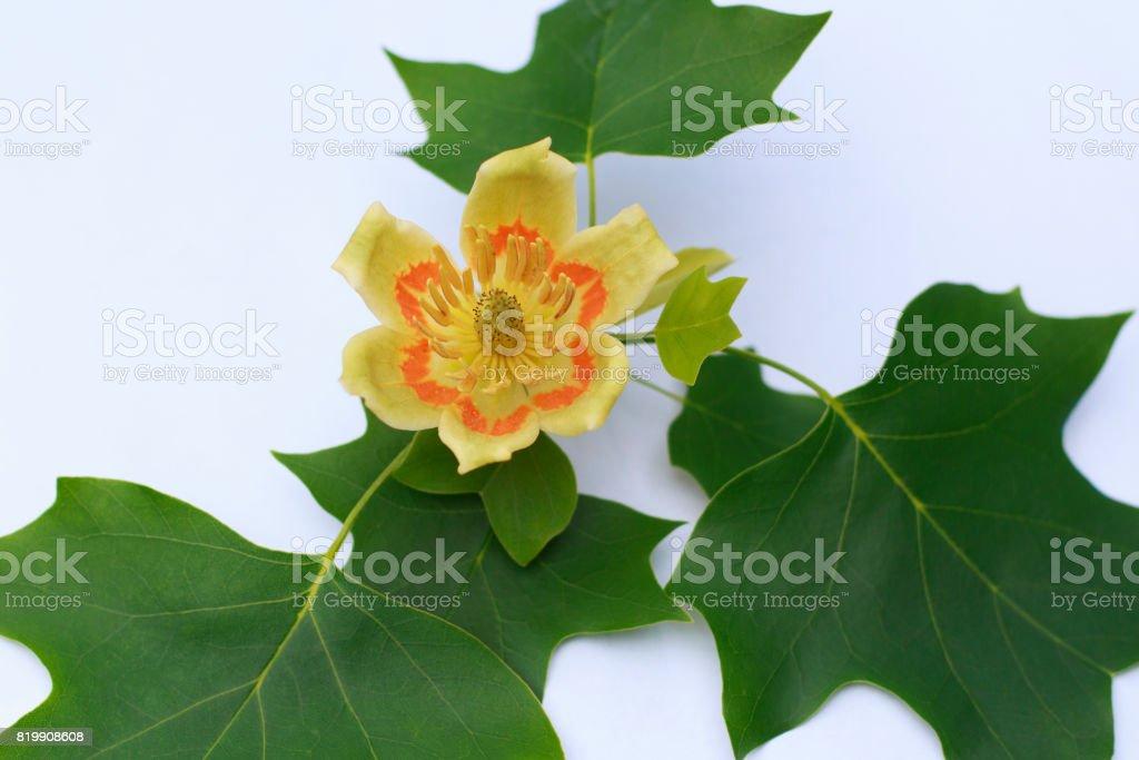 Tulip Poplar Flower on white background stock photo