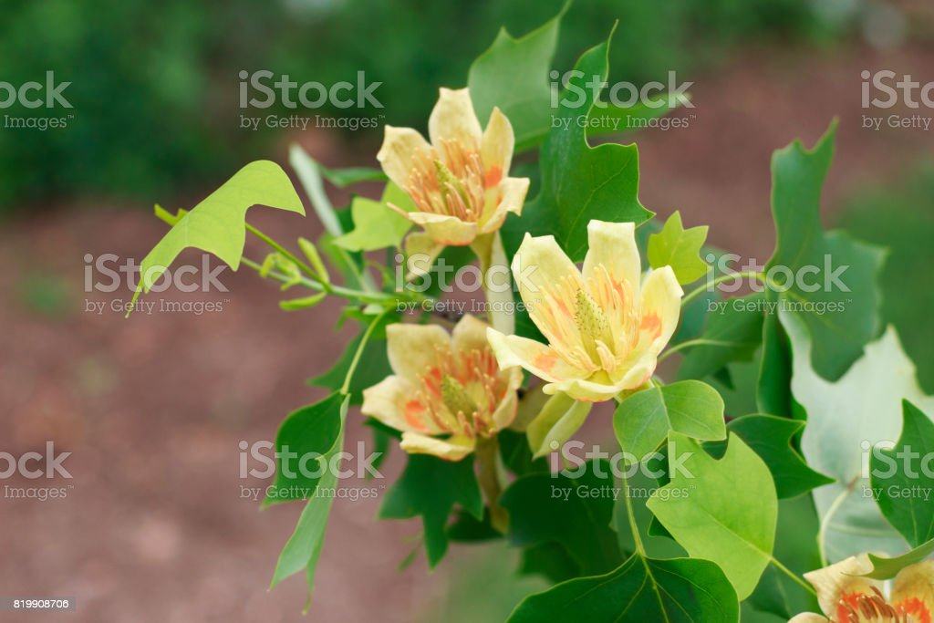 Tulip Poplar Flowers stock photo