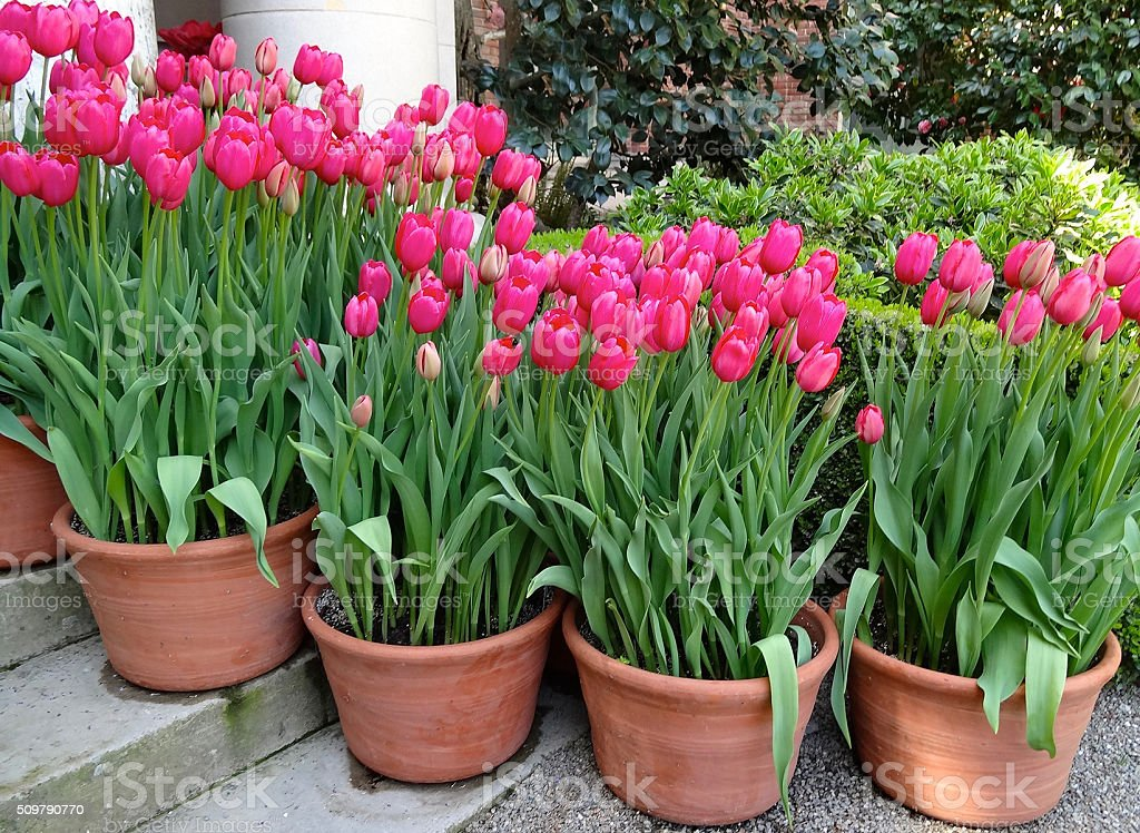 Tulip Pots stock photo