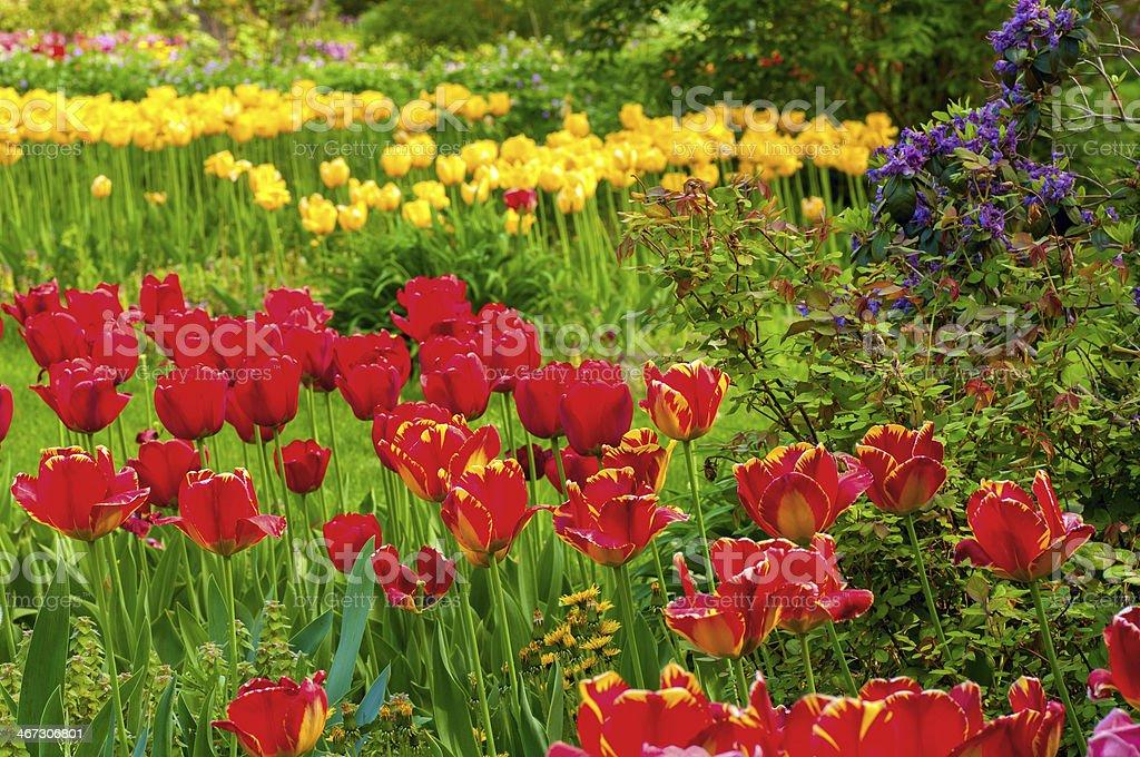 Tulip profusion stock photo