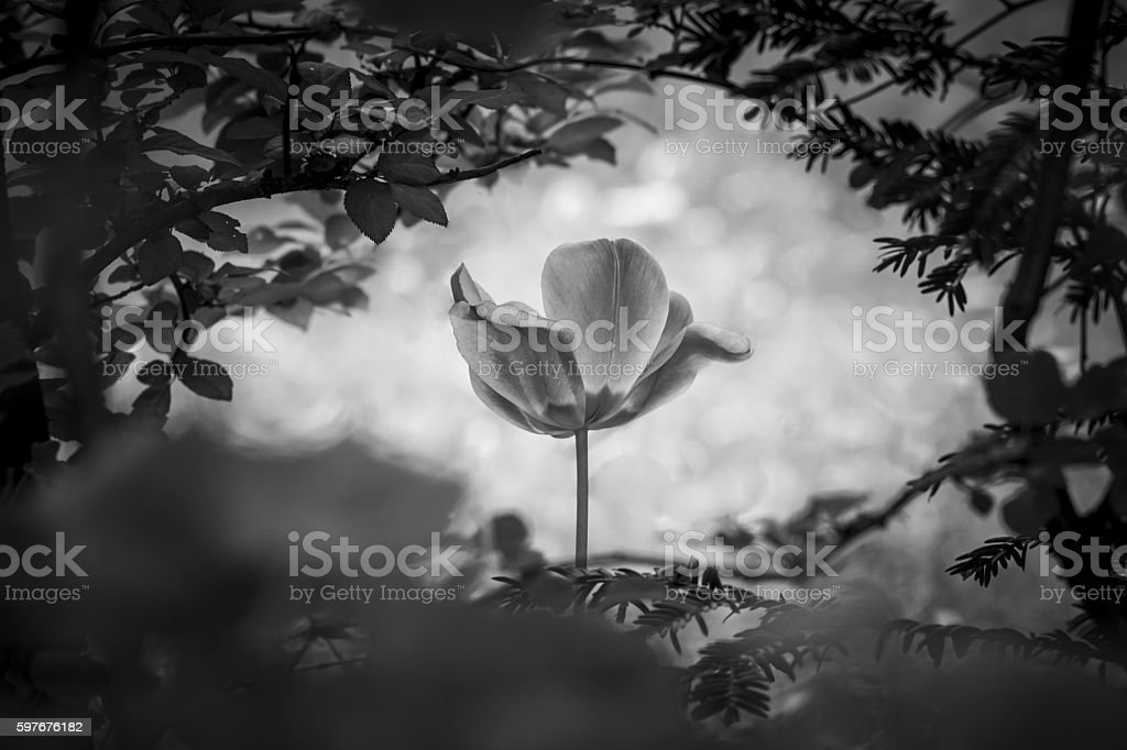 Tulip resurrection in black and white for peace love hope stock photo