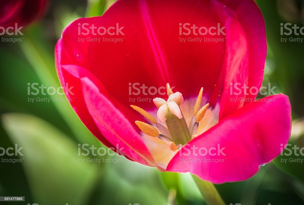 Tulip Sex Organs stock photo