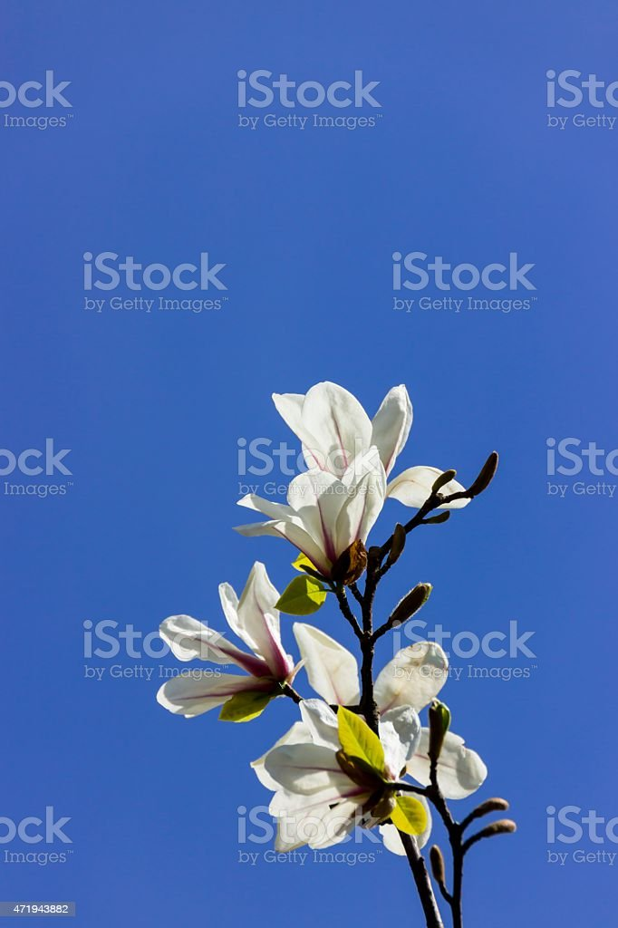 Tulip Tree - Magnolia stock photo