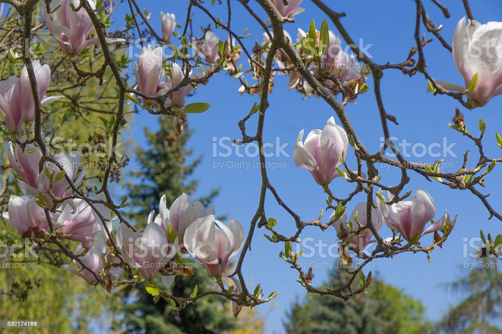 tulip tree on spring stock photo
