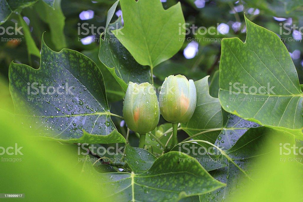Tulip Tree stock photo