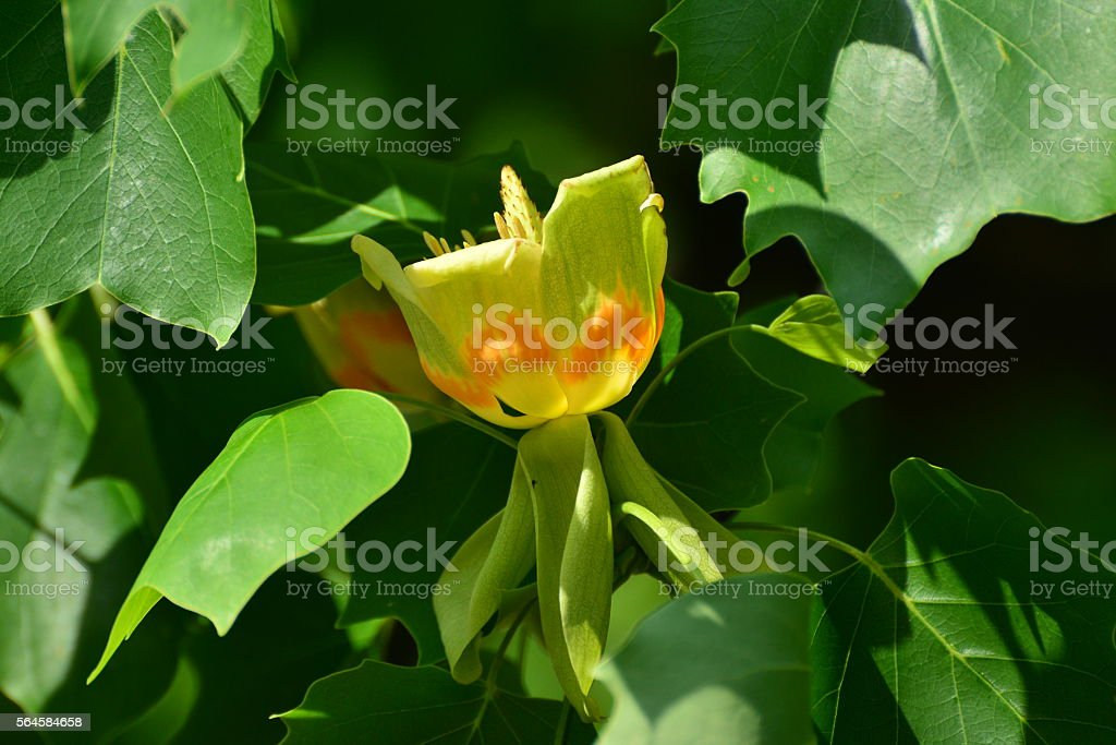 Tulip Tree/Liriodendron tulipifera stock photo
