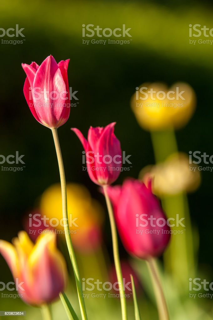 tulip with bokeh. stock photo