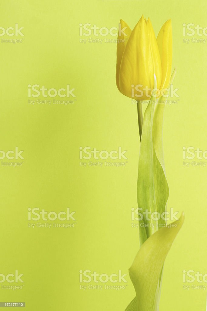 tulip with room to spare (green and vertical) stock photo