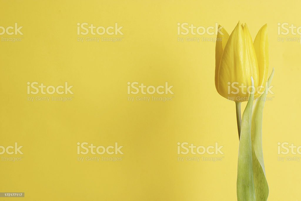 tulip with room to spare (yellow) stock photo