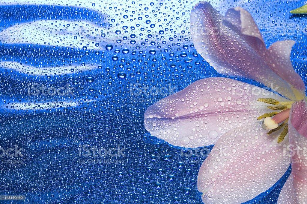 Tulipa com gotas de água em azul foto de stock royalty-free