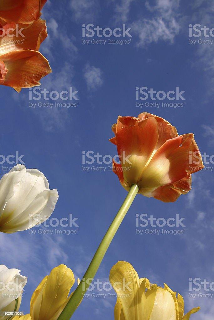 tulip18 royalty-free stock photo