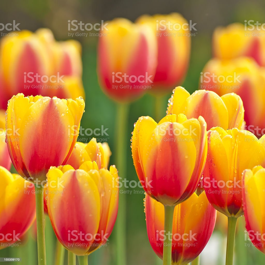 Tulipa 'World Peace' cultivar - IV royalty-free stock photo