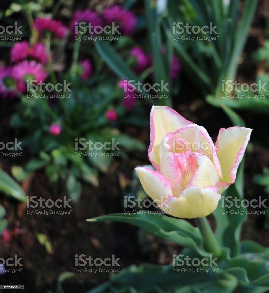 tulipano stock photo