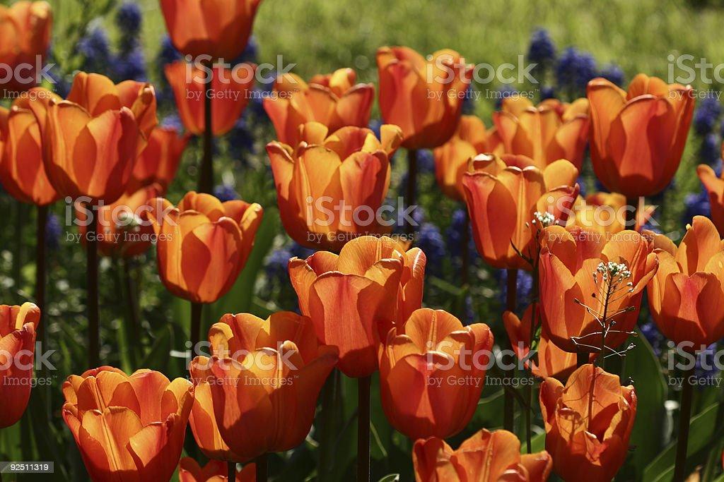 tulips 04 royalty-free stock photo