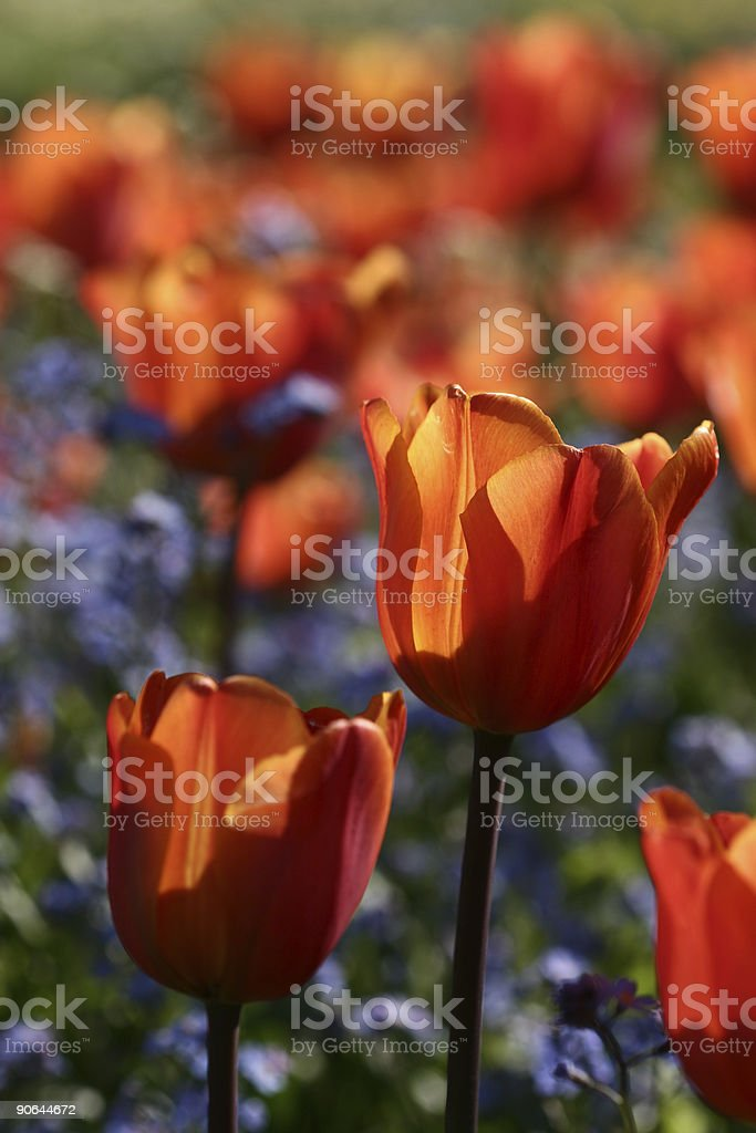 tulips 05 royalty-free stock photo